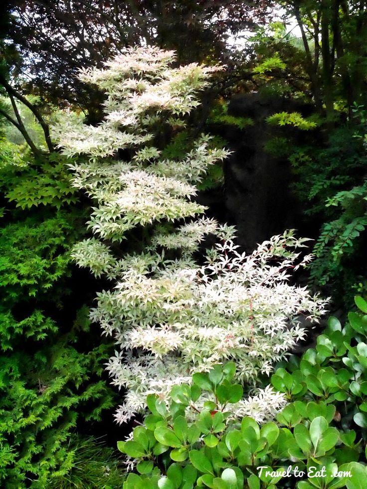 Les 23 meilleures images du tableau zen attitude jardin japonais sur pinterest arbustes - Arbuste japonais fleur jaune ...