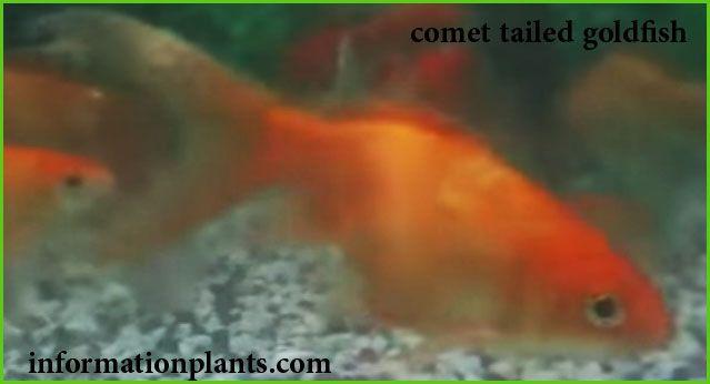 جولد فيش ابو الذنب سمك زينة انواع الاسماك انواع الاسماك مع الصور معلوماتية نبات حيوان اسماك فوائد Goldfish Fish Pet Fish