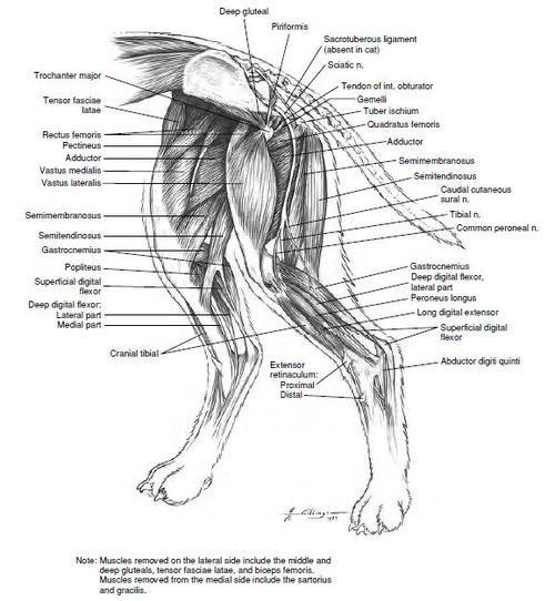 Anatomy of dog hind leg