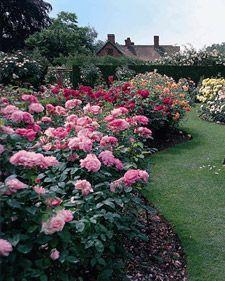Growing Roses - Martha Stewart Home & Garden