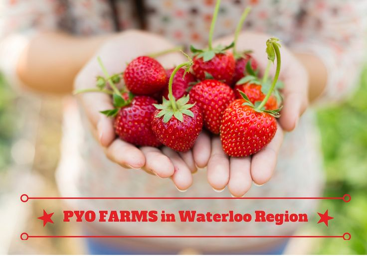 Those living in Waterloo Ontario enjoy picking their own produce from local farms. Learn where and why to pick your own (PYO) instead of buying store bought produce.