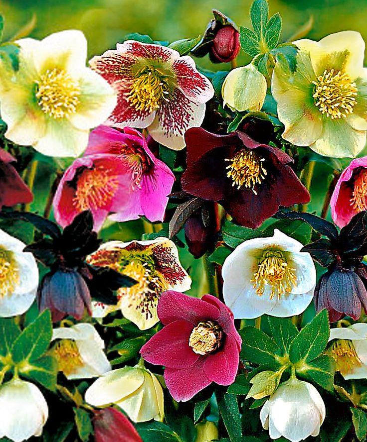 Helleborus Mix product foto Planten, Bloeiende planten