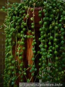 Le senecio rowleyanus possède de petites feuilles rondes en forme de petits pois. C'est un véritable chapelet naturel
