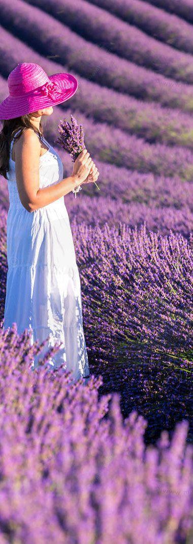 Lavender Fields in Mt. Ventoux near Valensole Village - Provence   France