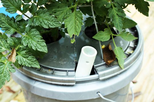 Self Watering Tomato Plants with instructions. 5 gallon buckets with lids from the local hardware store and then cut 3 holes in each lid. Two for plants to come out of and one to hold a watering spout. 1/3 of the way up on the outside of the bucket, she also drilled a small hole to act as an overflow release and a few small holes in the lid to hold a tomato cage later on in the growing cycle. More info about watering tomatoes at http://www.tomatodirt.com/watering-tomato-plants.html.