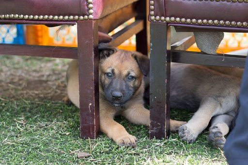Litter of 5 Belgian Malinois puppies for sale in IMPERIAL BEACH, CA. ADN-43199 on PuppyFinder.com Gender: Male. Age: 6 Weeks Old