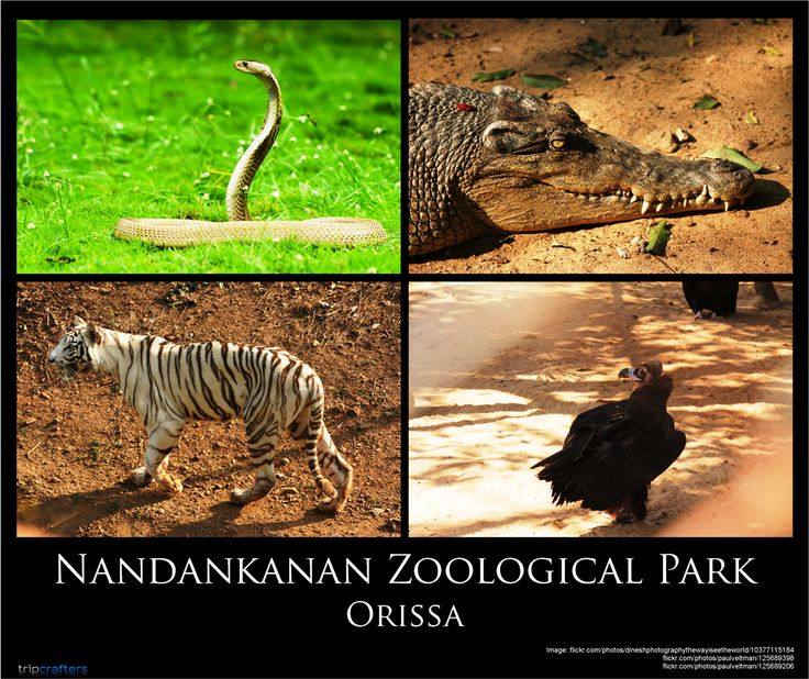 Nandankanan or 'The Garden of Heavens' is a 990 acre zoo and botanical garden in Bhubaneshwar. It is extremely popular for its white tigers and home to 120 different species of animals including mammals, reptiles and birds. The zoo houses aquarium, a reptile park and orchid house.  Know more about this remarkable zoo!  #Travel | #India | #Bhubaneshwar