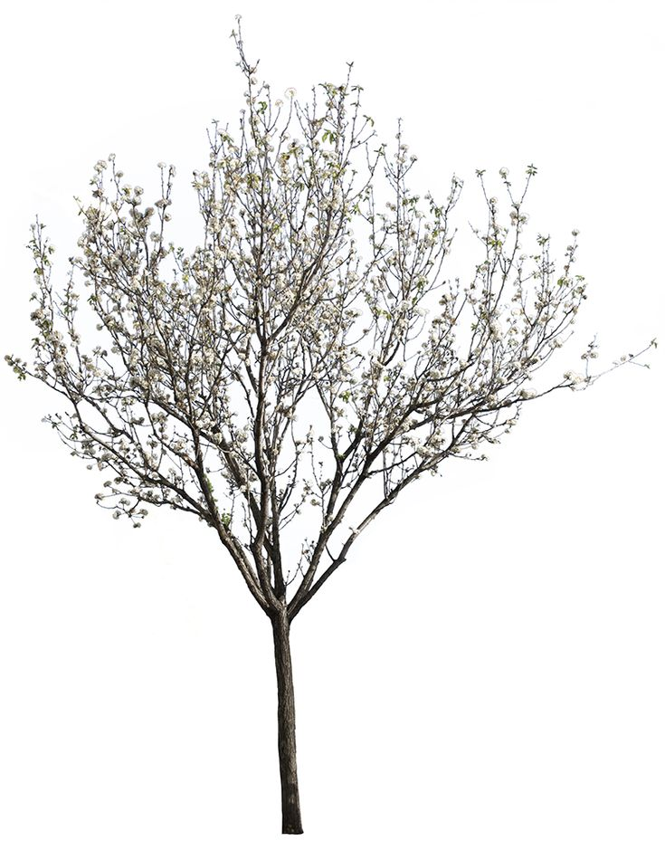 Cherry plum tree. Prunus cerasifera Springtime Flowers.  3528 x 4781 pixels. Tree cutout PNG image, with transparent background. 48 MB file ready to download.  Commonly used in gardens and parks in North America and Europe, the cherry plum tree is a small deciduous tree up to 12 m height.