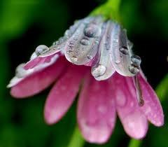 Rain Drops..: Africans Daisies, Rain Droplets, Beautiful Flower, Secret Gardens, Flower Heavens, Flower Macros, Dew Drop, Flower Power, Floweri Beautiful