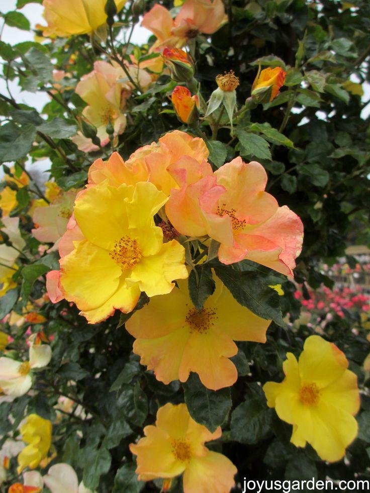 192 Best Shrubs Images On Pinterest Flowering Bushes