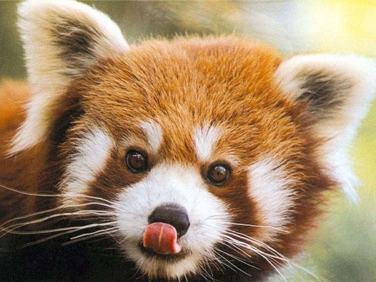 "This cute little chap may look like a fox or a raccoon, but it is in fact a red panda! They're native to the eastern Himalayas and southwestern China. Although red pandas aren't actually related to ""proper"" pandas (known as giant pandas), they do feed mainly on bamboo, just like their black and white namesakes.: Red Pandas, Adorable Animals, Search, Creature, Favorite Animal, Baby, Cutest Animal"