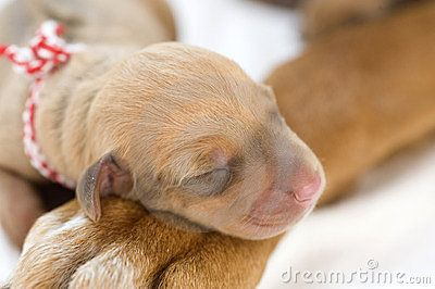 Newborn Rhodesian Ridgeback whelp is lying and sleeping on the big paw of its mother. The little puppy is one day of age. It is a purebreed african dog. Image is taken closeup on white.