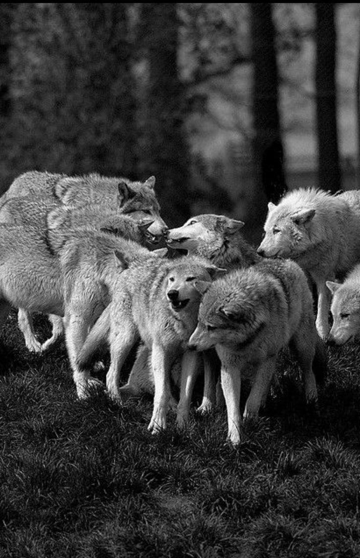 вам фото на аву волки стая горам, как