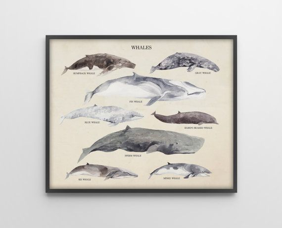 Whales Species - Scientific Art Print - Vintage Educational Scientific Specimen Poster - Nautical Decor - Watercolor - SKU: 191