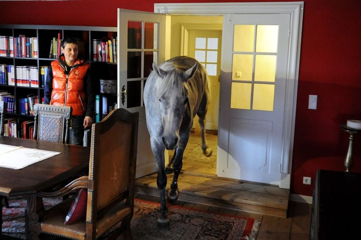 "This Horse Lives Inside Its Owner's House. - Photo Journal - WSJ-When the powerful ""Xaver"" storm swept through northern Germany in December, Stephanie Arndt brought her three-year-old Arabian horse Nasar inside. Since then, the horse has grown quite comfortable with the arrangement, and stays indoors."