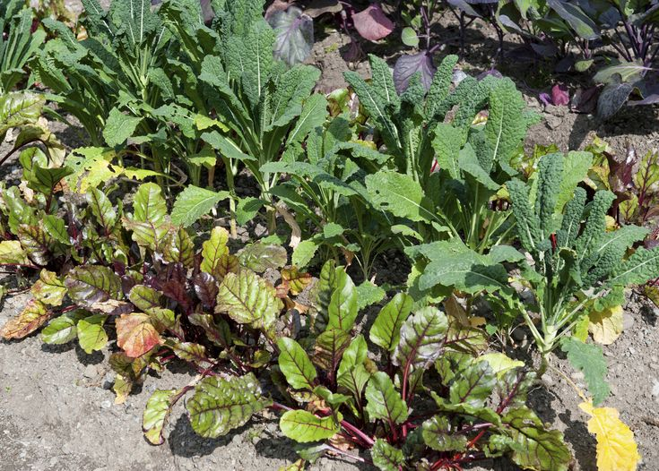good companions for beets – tips on planting near beets in the, Gartenarbeit ideen