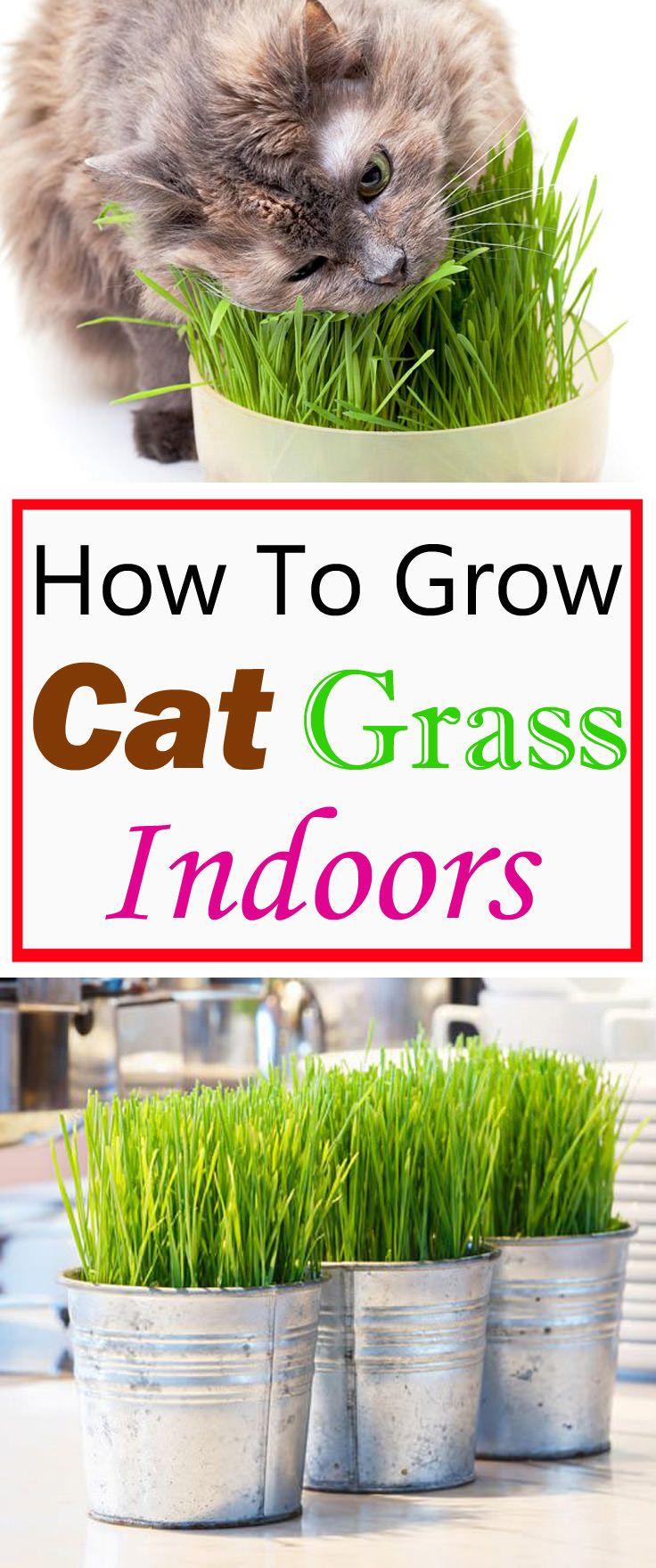 Growing cat grass indoors will keep your cats busy and entertain them. This way they don't need to go outside for grazing, where the grass may be treated with pesticides and fertilizer!