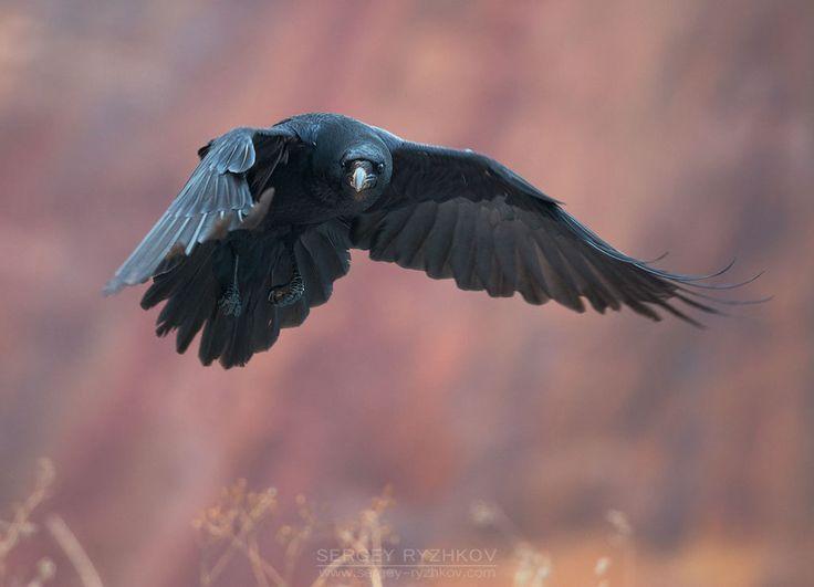 Ravens flying wallpaper - photo#36