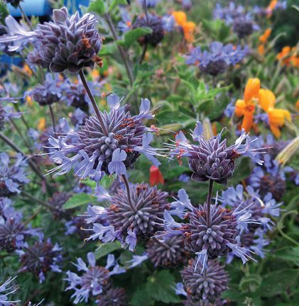 "Salvia clevelandii - from Annie's Annuals: drought tolerant, incredible scent (""delectable foliar fragrance""), deer resistant, hummingbird magnet"