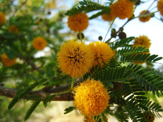 """Acacia (Acacia farnesiana) In the language of flowers: """"You have elegance and grace.""""  Symbolizes friendship, platonic love. Photo by Ron Gilbert"""