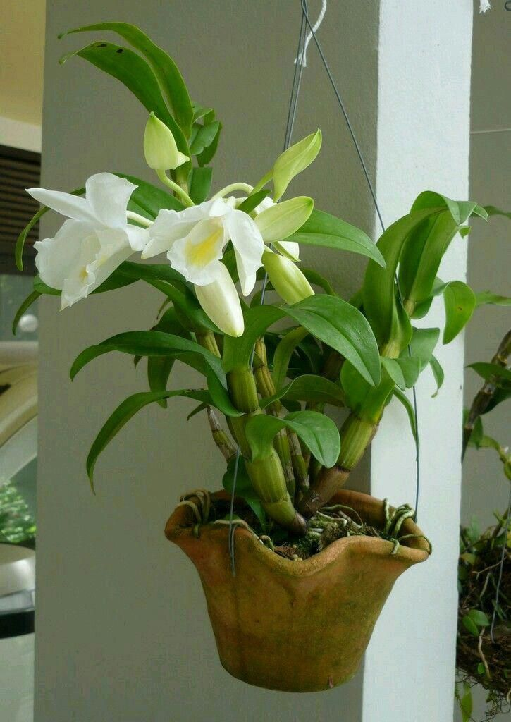 Orchids The Enchantment Of The Best Sanvujay Flower Garden Of All Time See Design Drawings And Interesting Fotho Orchids Beautiful Orchids Dendrobium Orchids