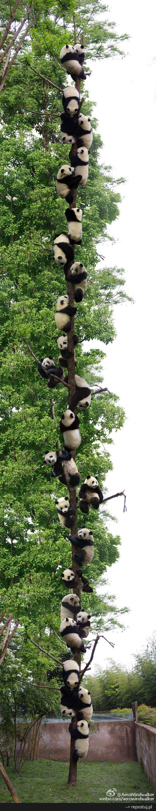 A tree full of pandas.