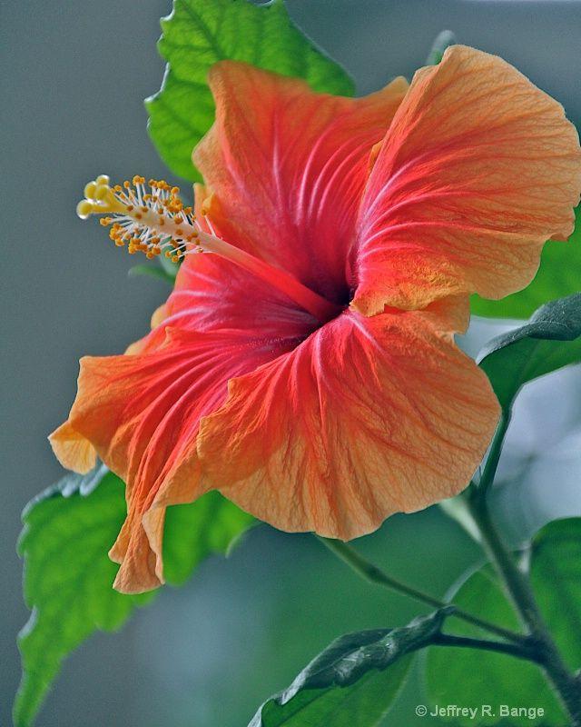 ~~Hibiscus by Jeffrey Bange~~