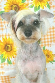 Japanese Dog Grooming Style Miniatuur Schnauzer                                                                                                                                                      More