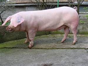 LANDRACE pigs  (French)
