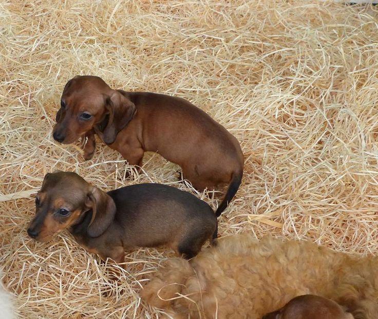 deux mini teckels adorables!