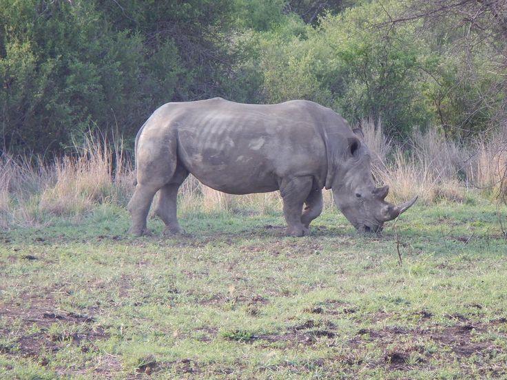 south africa animal rhino