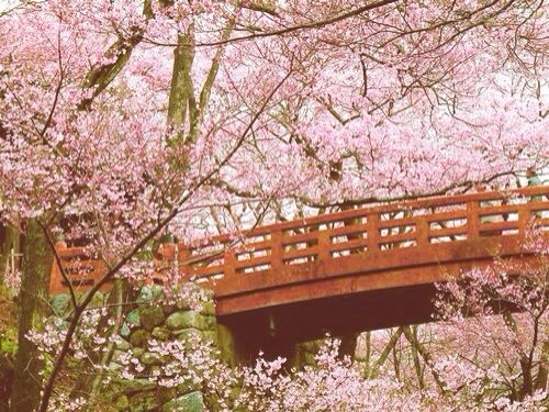 cherry blossoms walk bridge japanese - Japanese Garden Cherry Blossom Bridge