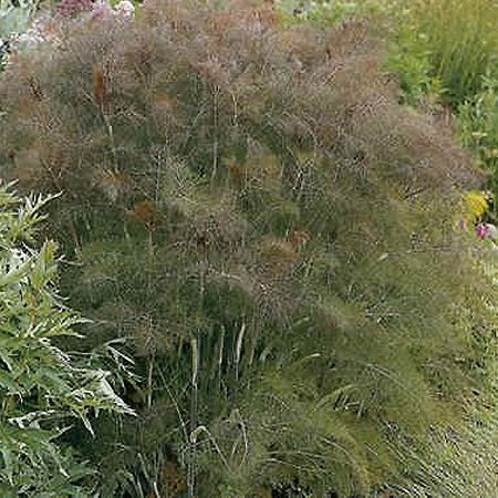 "BRONZE FENNEL (Foeniculum vulgare ""Purpureum"" Hardy herbaceous perennial. Height 150cm. Spread 60cm. Bronze, aniseed scented, filigree foliage. Umbels of yellow flowers, summer."