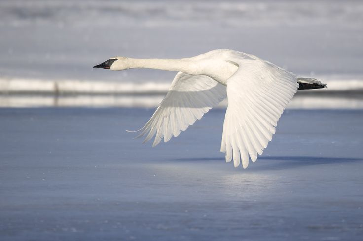 https://flic.kr/p/Ftcn97 | Trumpeter Swan Skimming the Frozen Nechako River | A Trumpeter Swan in Vanderhoof, BC on the morning flyout, heading out to the farm fields to forage for breakfast.