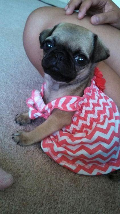 Baby pug princess @Stephanie Close Close Close allen