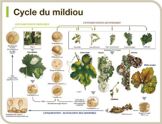 Cycle du mildiou