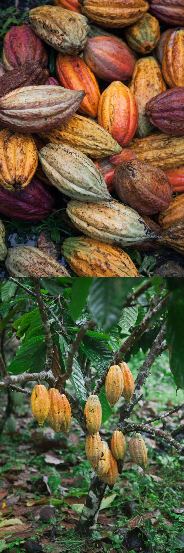 Feves de cacao - griottes.fr