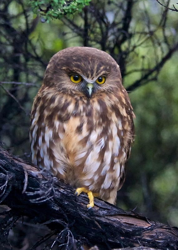 Morepork, the NZ native owl with a distinctive cry after which it is named. I have been lucky enough to look one of these right in the eye as it perched in a tree. We had a stare off to see who would blink first. He won...