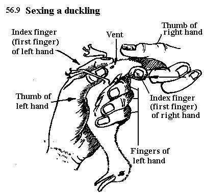how to sex ducks