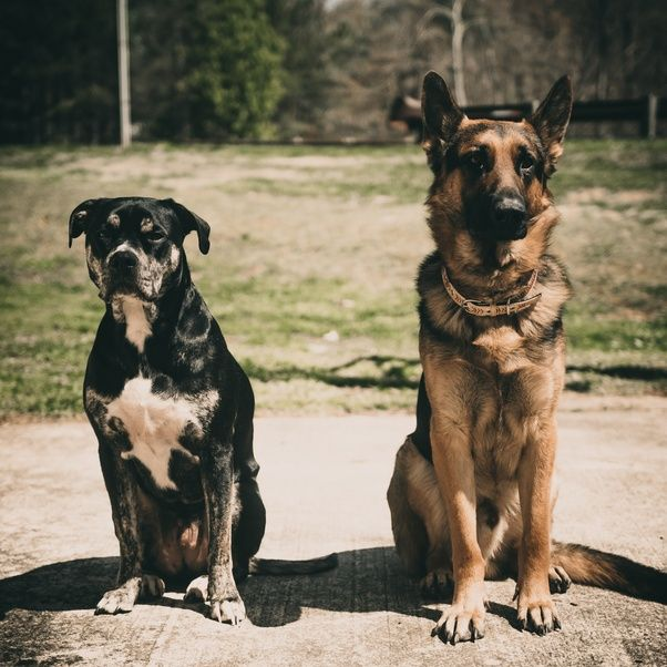 Which Is A Powerful Dog Among The Doberman Rottweiler And German