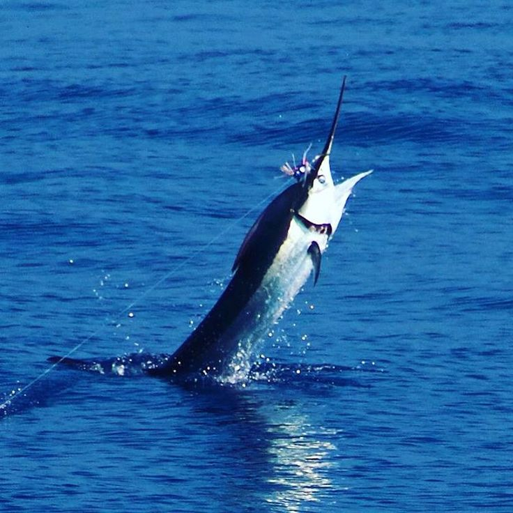 Hawaii deep sea fishing action shot from playnhooky in for Deep sea fishing oahu