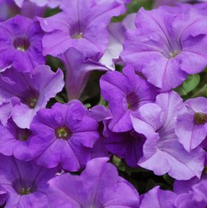 Surfinia Heavenly Blue is a trailing petunia plant that produces lavender flower blossoms. Self-cleaning!