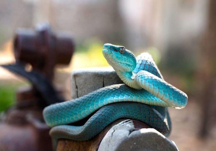 Ular Asli Indonesia Berwarna Biru Ular Trimeresurus insularis, yang ditemukan di Indonesia, biasanya berwarna kuning atau hijau.Di Pulau Komodo, warnanya yang unik dan tidak biasa: biru pirus (blue turquoise).  Si ular biru yang berbisa ini termasuk dalam keluarga viper, Trimeresurus insularis dari Pulau Komodo adalah spesies endemik di Indonesia. Dipercaya bahwa bertahun-tahun terisolasi di pulau komodo telah