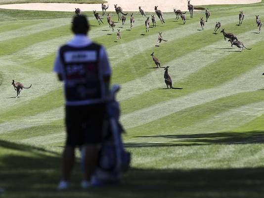 Des kangourous perturbent l'open d'Australie féminin [video] - http://www.2tout2rien.fr/des-kangourous-perturbentopen-daustralie-feminin-video/
