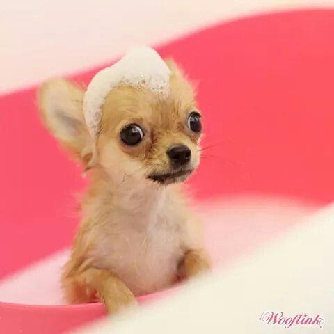 No, I don't want to take a bath! Chihuahua #chihuahua #chihuahuatypes…