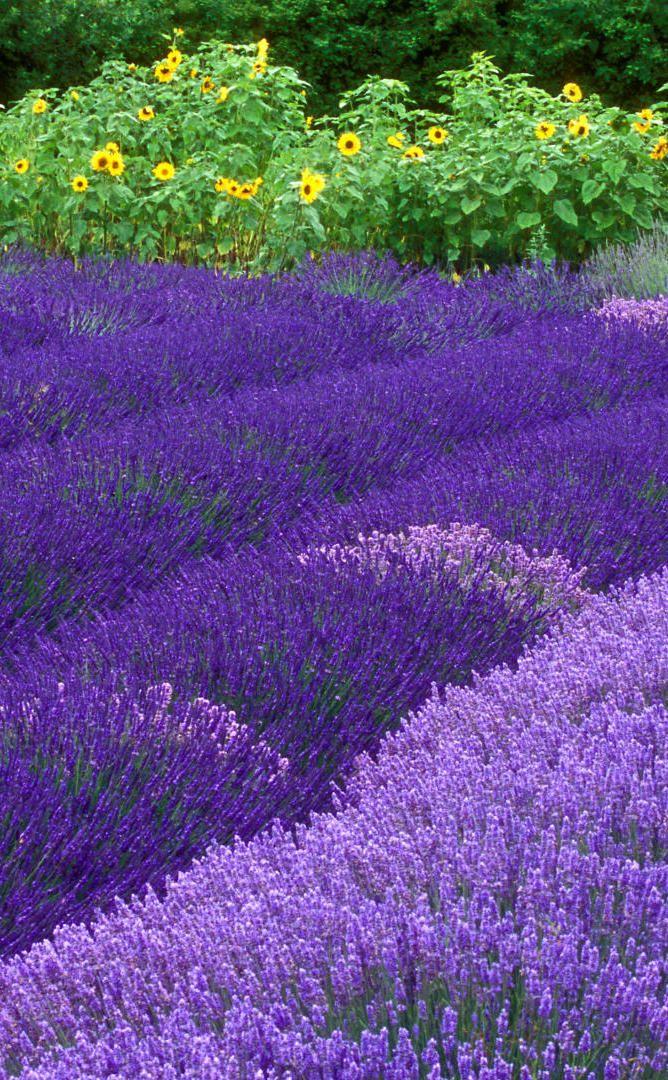 Purple Haze Lavender Farm | Travel | Vacation Ideas | Road Trip | Places to Visit | Sequim | WA | Tourist Attraction | City Park