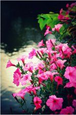 Ani tá najlepšia umelá dekorácia živým, pestrofarebným a voňavým kvetom konkurovať jednoducho nemôže. Ako pestovať petúnie, jedny z najobľúbenejších kvetov?