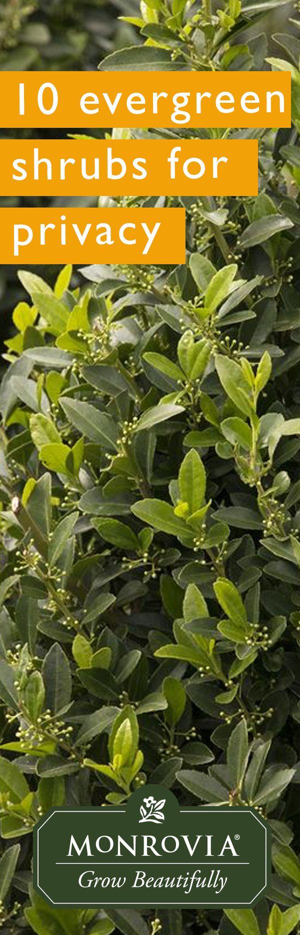 best 25 tall shrubs ideas on pinterest boxwood tree