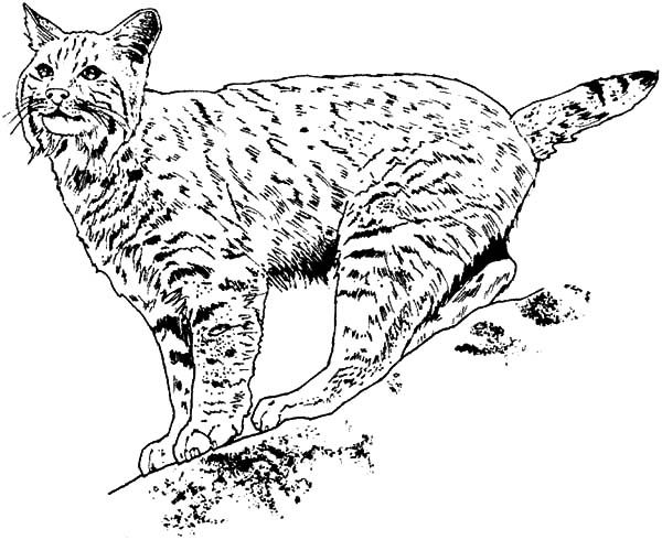 Bobcat Keep His Eyes On His Prey Coloring Pages : Best ...