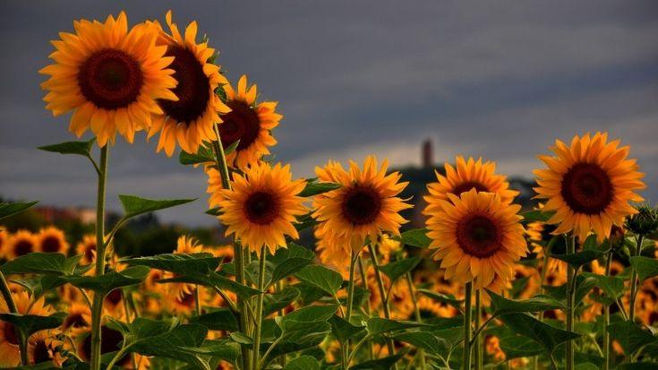 Sunflowers Field Wallpaper